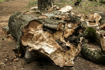 A log of big broken old beech wood closeup on the ground