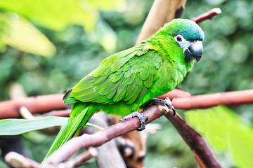Green Conure Parrot in its Natural Habitat