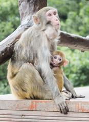 A monkey feeding her baby at Yuanjiajie Mountain, Wulingyuan Scenic Area, Zhangjiajie National Forest Park, Hunan Province, China, Asia