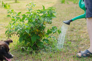 Watering a Cumberland Black raspberry bush