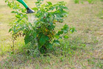 Watering a Cumberland Black raspberry bush