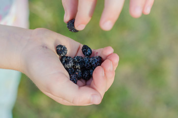 Close-up of Cumberland Black raspberries in child hands