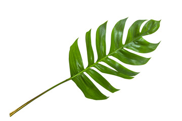 Leaves in tropical jungle of leaf isolated on white background.