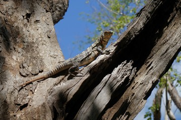 Iguana resting on the dry tree branch