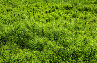 lush green field of horse tail weeds