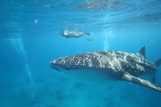 Female woman swimming with massive whale shark