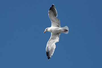 Flying seagull close up, bottom view