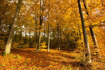 A beautiful autumn forest full of colors.Pomerania ,Poland