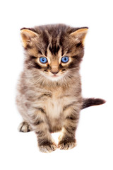 Little cute striped cat with blue eyes on white isolated background_