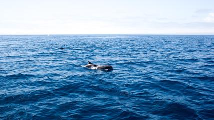 Dolphins near Ventura coast, California