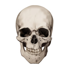 Human realistic skull. White background. Anatomy vector illustration.