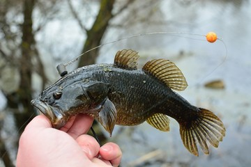 Summer fishing on the lake, Perccottus glenii