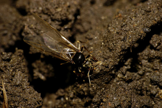 Close-up of Caucasian brown ant with wings uterus