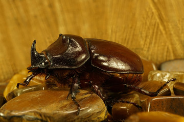 Rhinoceros beetle closeup