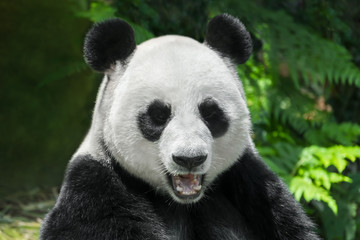 Giant Panda Bear close up portrait