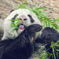 Black and white panda eating bamboo