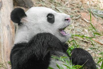 Cute Eating Panda, close-up