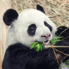 Hungry panda eating bamboo, close-up