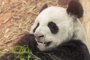 giant panda while eating bamboo close up portrait