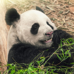 Black and white panda eating bamboo, close-up