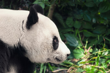 Black and white panda, close-up