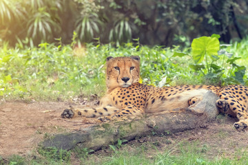 Adult cheetah resting in the sand