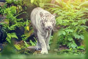 White tiger with blue eyes walking through the grass