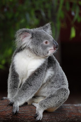 Koala (Phascolarctos cinereus)  in Queensland, Australien.