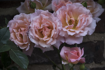 Summer flowers - beautiful pink roses blooming in the garden.