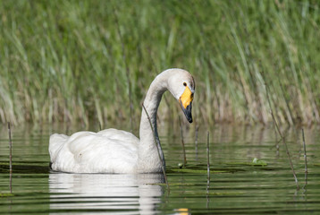 Beautiful white Whooper Swan with yellow beak swimming at the lake