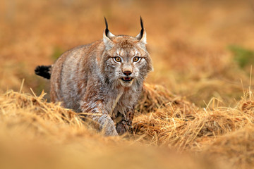 Foto op Plexiglas Lynx Lynx in green forest. Wildlife scene from nature. Walking Eurasian lynx, animal behaviour in habitat. Wild cat from Germany. Wild Bobcat between the trees. Hunting carnivore in autumn grass.