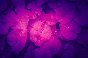 Trendy color ultra violet concept. Ultraviolet foliage abstract background.