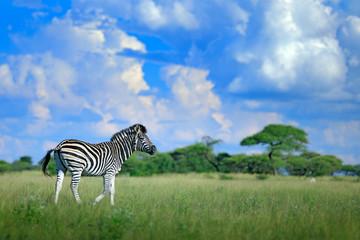 Fotomurales - Zebra with blue storm sky. Burchell's zebra, Equus quagga burchellii, Nxai Pan National Park, Botswana, Africa. Wild animal on the green meadow. Wildlife nature, African safari.