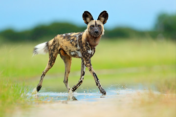 African wild dog, Lycaon pictus), walking in the water on the road. Hunting painted dog with big ears, beautiful wild anilm in habitat. Wildlife nature, Moremi,  Botswana, Africa. Animal, green grass.