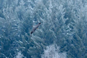Flight of Peregrine Falcon. Bird of prey with open wings. Forest with snow in the background. Action winter scene in the nature habitat, Germany.