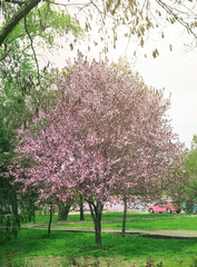 Blossoming tree in spring park