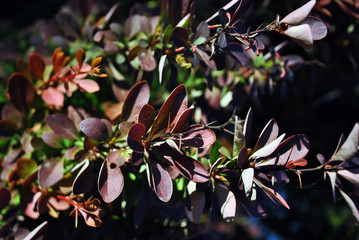 Dark red barberry leaves and thorns on twigs, organic background texture
