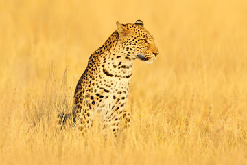 Leopard, Panthera pardus shortidgei, hidden portrait in the nice yellow grass. Big wild cat in the nature habitat, Hwange NP, Zimbabwe. Wildlife scene form Frica nature. Spotted cat on the madow.