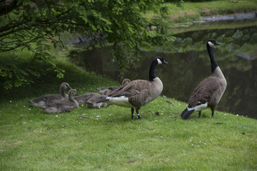Canadian Goose Family with Goslings aka baby geese at the lake in the park