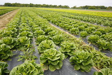 Rows of lettuce with plastic mulch as protection