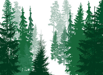 high firs green forest isolated on white