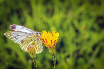 White butterfly sitting on yellow flower on green grass background
