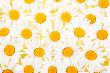 Layout of daisies on a yellow background. The concept of summer.