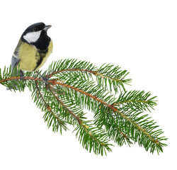 great tit and green fir branch isolated on white