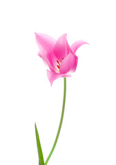 Beautiful tulip on white background