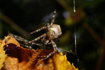 Macro front view hanging on a thin cobweb caucasian colored spider Araneus with prey