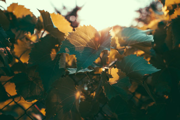 Close up photo of leaves of grapes during sunset on summer/autumn