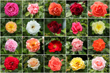 A combination photo shows roses in a public garden in Vienna