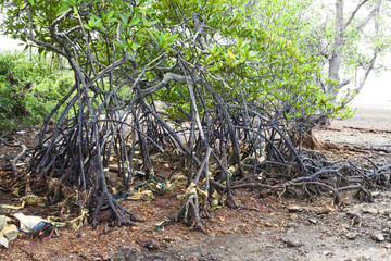 Polluted mangroves