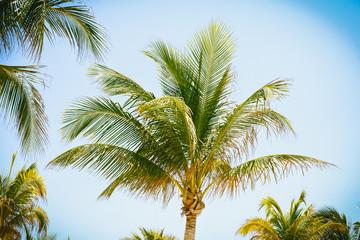 Coco Palm - Tropical Paradise